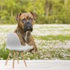 Boxer Dog Playing In Field Animals & Nature Wall Mural Home Photo Wallpaper