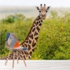 Giraffe In The Wild African Safari Animal Wall Mural Nature Photo Wallpaper