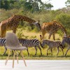 Zebras & Giraffes In Savannah, African Animals Wall Mural Nature Photo Wallpaper