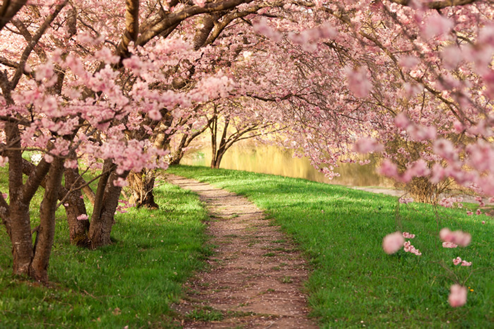 Pink Cherry Blossom Wall Mural Floral Trees Photo