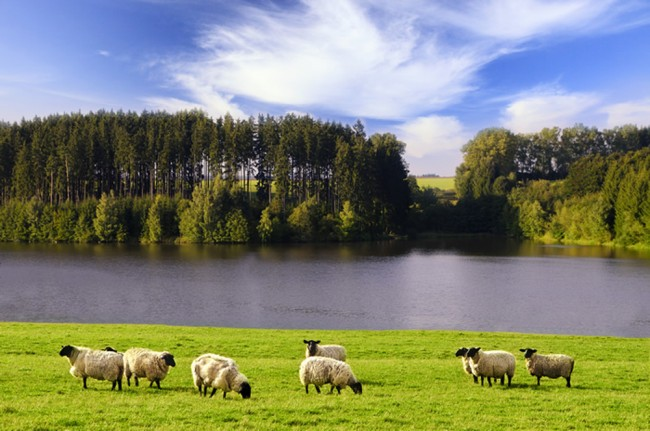 Sheep Grazing Landscape Wall Mural Wallpaper