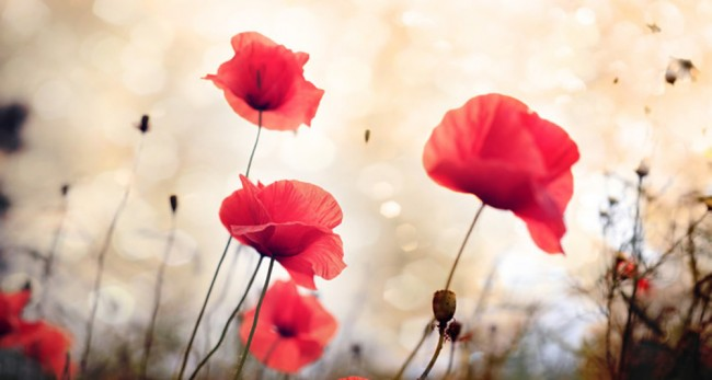 Red Poppy Flowers Floral Wall Mural Wallpaper