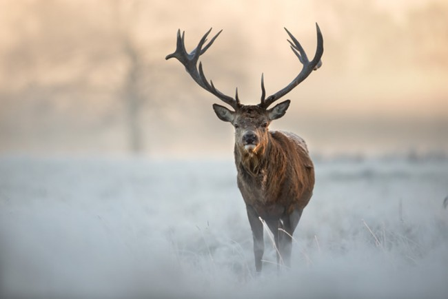 Red Stag Winter Forest Wall Mural Wallpaper